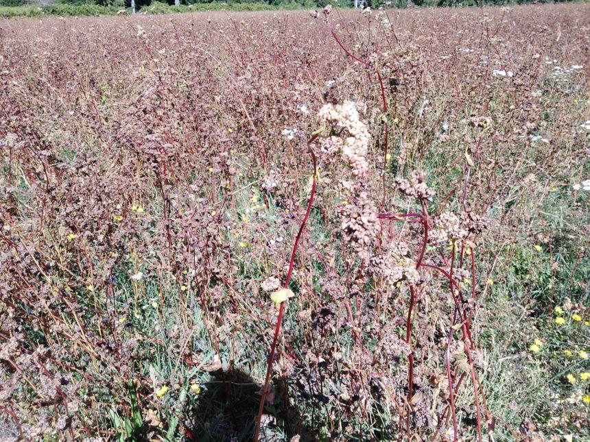 Nicolas Dupond espère récolter 10 quintaux de sarrasin à l'hectare