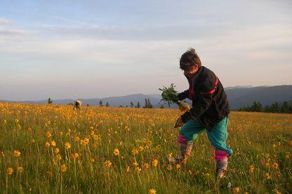 Cueillette de l'Arnica sur le massif des Vosges
