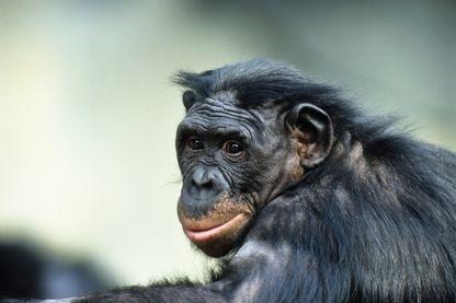 Bonobo -(chimpanzé)