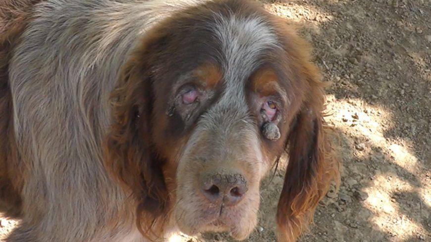L'un des chiens semble rongé par le conjonctivite (capture d'écran)
