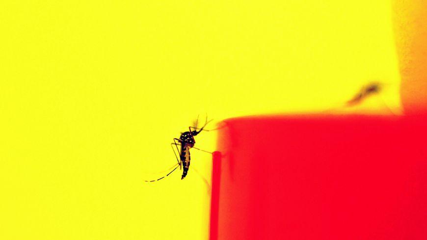 Le moustique tigre, vecteur de la Dengue