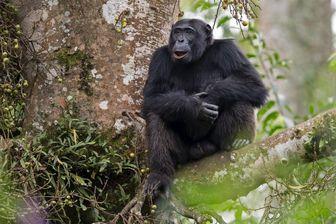 Elliott le chimpanzé, mâle-alpha observé et suivi par la primatologue Sabrina Krief dans la forêt de Sebitoli, Ouganda