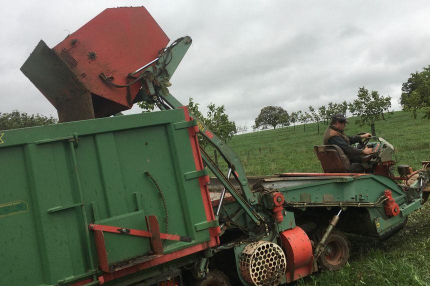 Une fois récoltées, les noix sont transportées vers le lavage et le tri