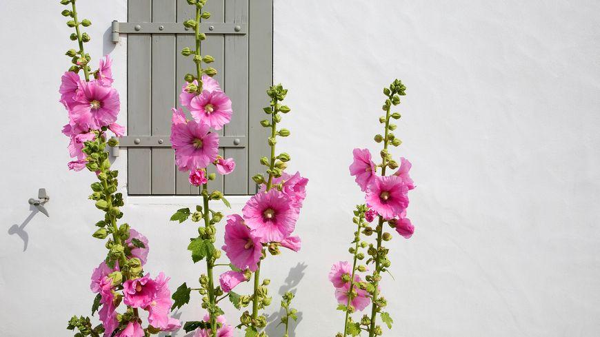 Les roses trémières, magnifiques le long d'un mur.