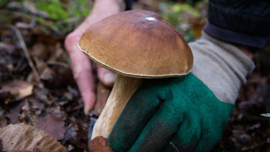 Il est conseillé de prélever la totalité du champignon, avec le pied et le chapeau.