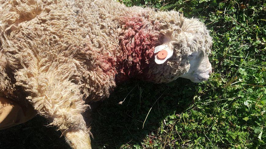 Légende : L'éleveur a retrouvé mercredi matin les cadavres de six brebis et deux agneaux de son troupeau.
