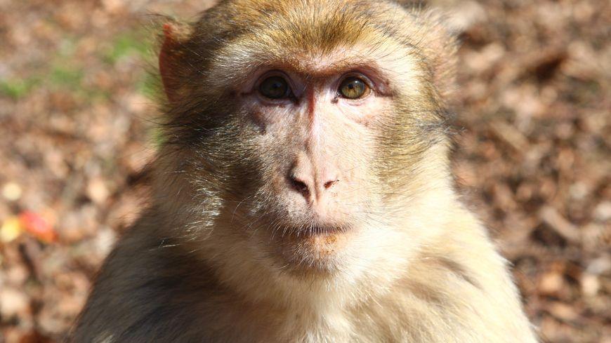 Un macaque de Barbarie.