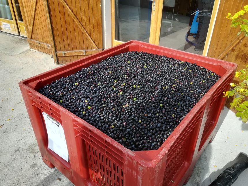"""Toutes les olives des oléiculteurs amateurs sont mélangées pour produire une seule et même huile d'olive : """"la cuvée des oléiculteurs"""""""