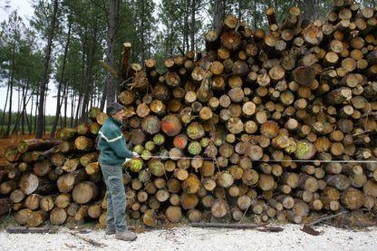 Un technicien de l'Office National des Forêts (ONF), mesure une pile de troncs d'arbres coupés.