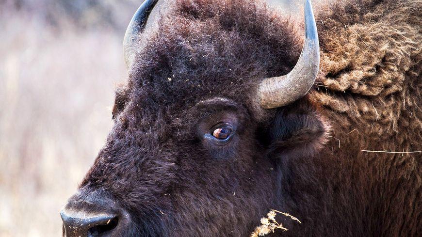 Des bisons dans le vercors