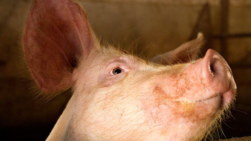 Cochon dans sa porcherie (illustration).