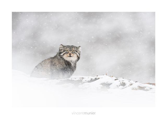 Sur les traces de la panthère des neiges.