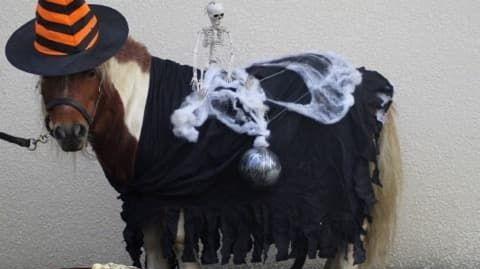 Apache, le poney qui tractera la calèche dans les rues d'Orthez ce jeudi, a aussi droit à son déguisement.