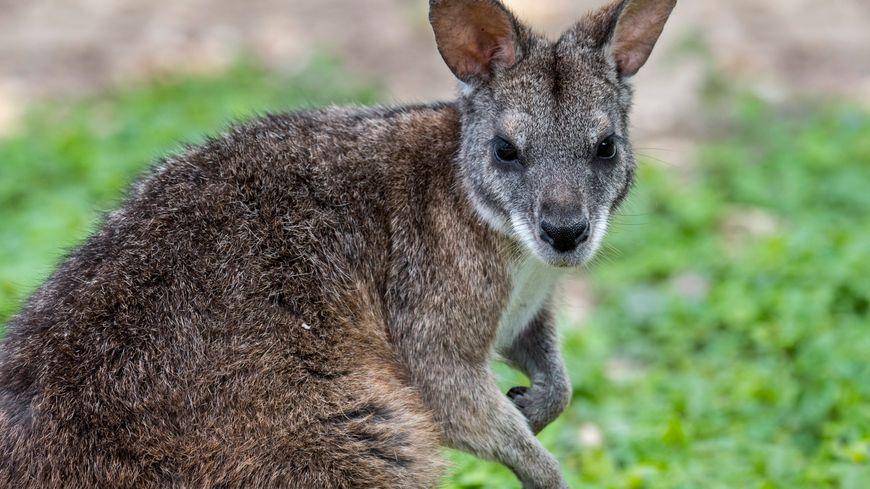 Le wallaby est un kangourou de petite taille mais de grande mignoncité