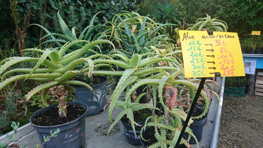 Destockage De Plantes Extremement Rares Au Jardin Exotique De Roscoff