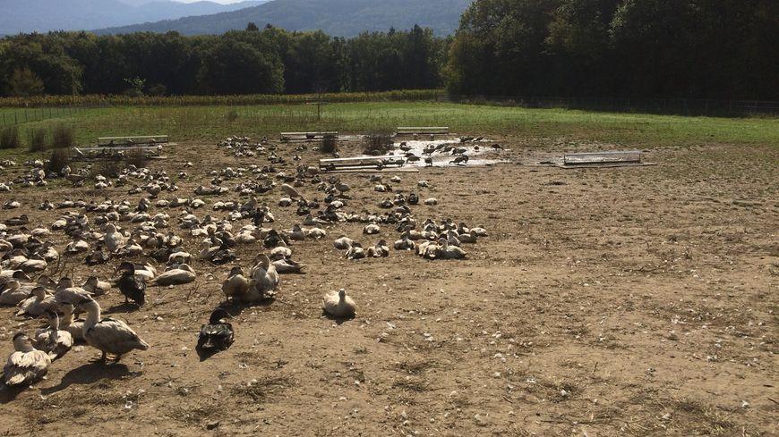 L'élevage de canards de La Mère Gaud à Excenevex dans le Chablais