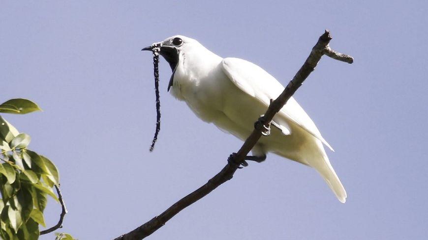 L'Araponga blanc est l'oiseau qui possède le cri le plus bruyant au monde