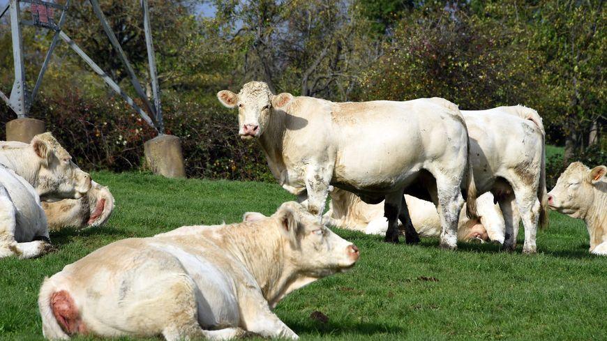 Les morts suspectes de vaches laitières se sont multipliées en France et les éleveurs incriminent les réseaux électriques (image d'illustration)