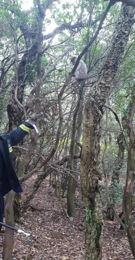 Le macaque était paisiblement suspendu à un arbre aux Adrets-de-l'Estérel.