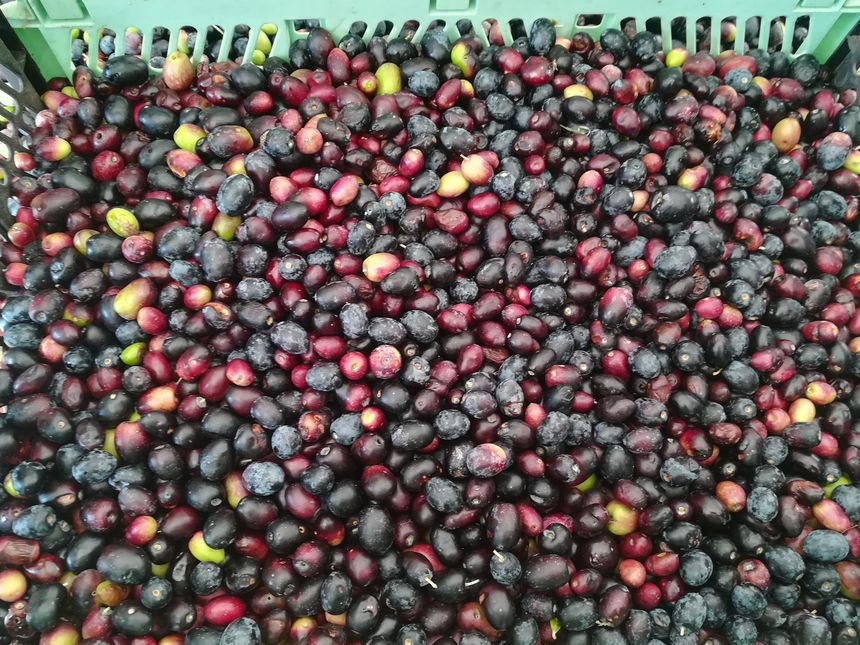 Les oléiculteurs amateurs déposent entre 10 et 50 kilos d'olives chacun