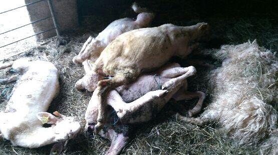 Les cinq brebis mortes étouffées dans la bergerie