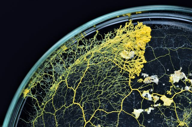 """Le """"blob"""" peut pousser sur une simple feuille buvard, dans une boîte de Petri remplie de flocons d'avoine"""