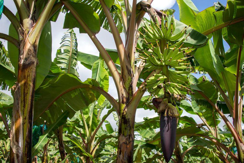 Chlordécone : pourquoi la France a-t-elle tardé à interdire ce pesticide aux Antilles ?