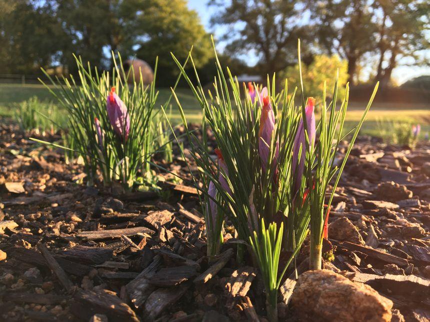 Près de 150 fleurs sont nécessaires pour produire un gramme de safran.