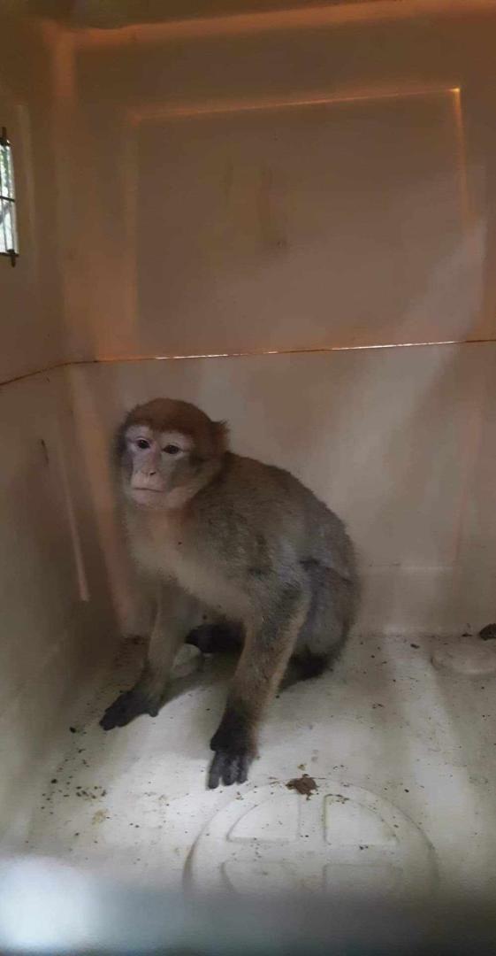 Le singe a été placé dans une cage en attendant d'être pris en charge par un zoo.