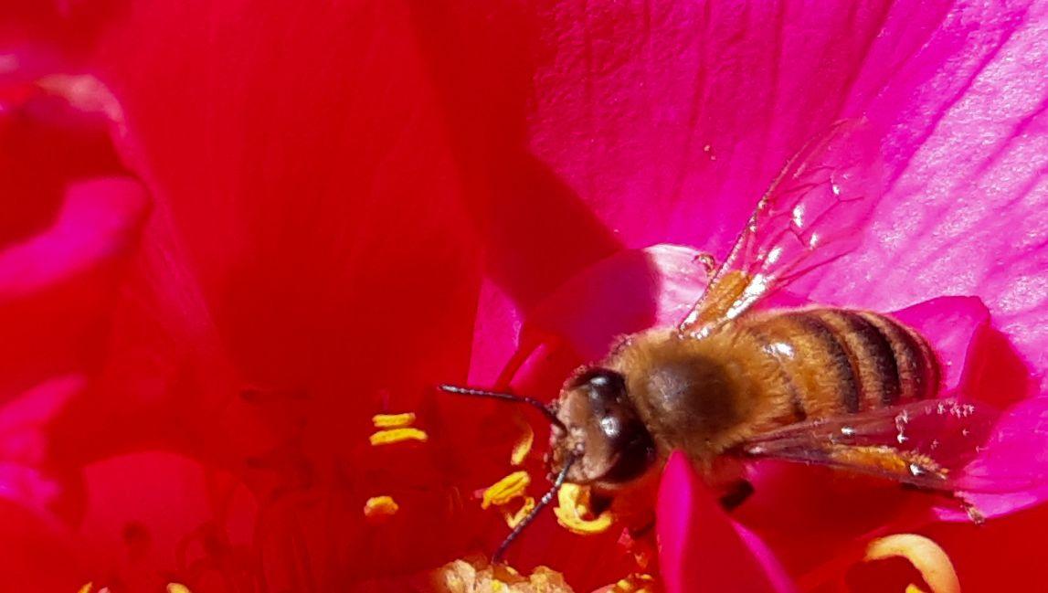 Des chercheurs du CNRS de Chizé prouvent que les abeilles sont aussi efficaces que les produits phytosanitaires