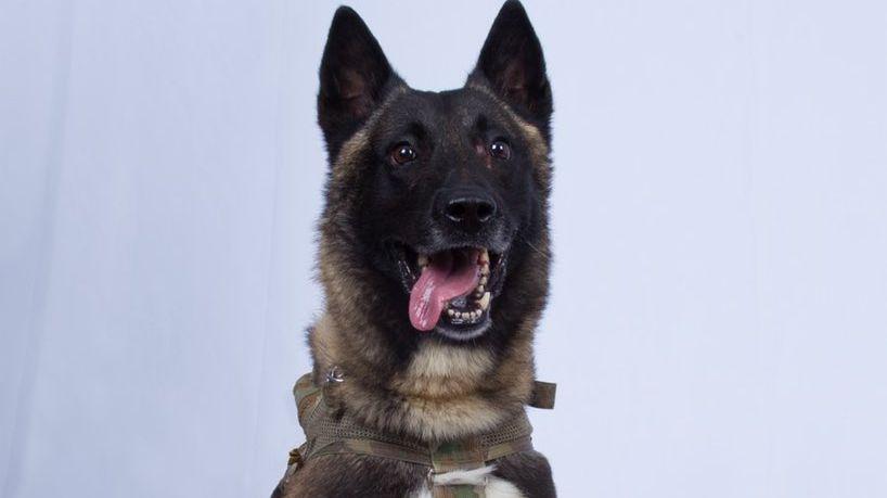 Ce chien est un héros pour les américains après l'attaque contre Abou Bakr Al-Baghdadi.