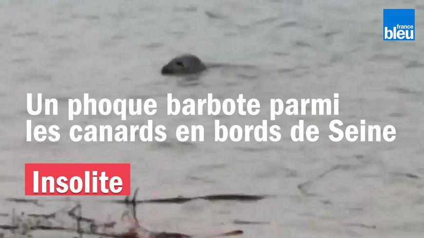 Un jeune phoque a été repéré par des promeneurs à Saint-Aubin-lès-Elbeuf ce dimanche.