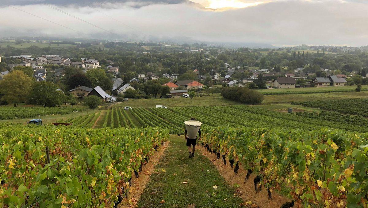 """""""Une baisse de 20% des ventes aux USA"""" : l'inquiétude des viticulteurs de Chablis face à la taxe Trump"""