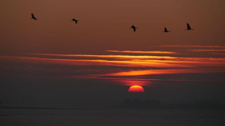 Un vol de grues cendrées au-dessus du Lac du Der.