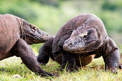 Des dragons de Komodo, sur l'île de Komodo, Indonésie.