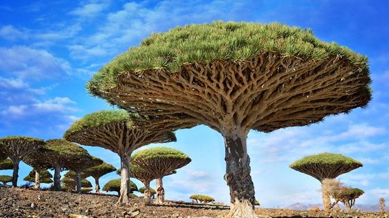 Les dragonniers sont des arbres emblématiques de l'archipel de Socotra au Yémen