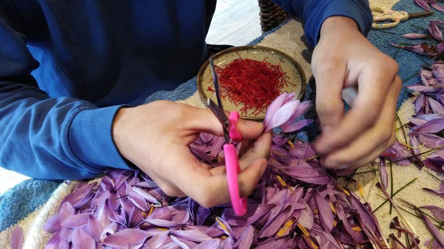 Les producteurs de Safran émondent les fleurs: ils récupèrent uniquement le pistil.