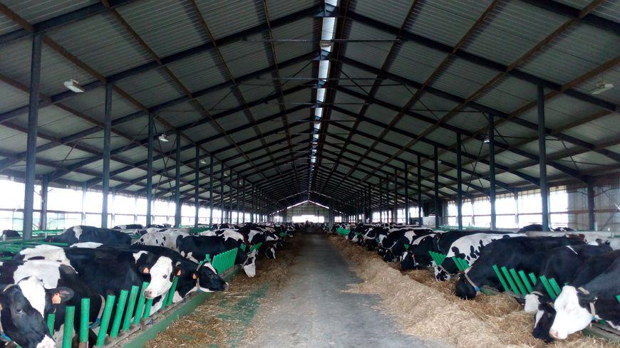La ferme des mille vaches à Drucat et Buigny-Saint-Maclou près d'Abbeville