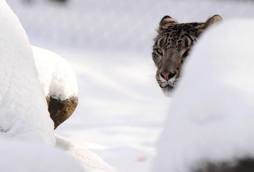 Une panthère des neiges (7 janvier 2010, Banham Zoo, Norfolk, Royaume Uni)