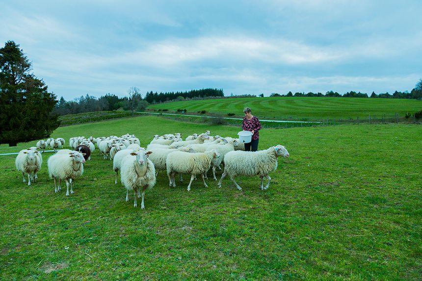 Sylvie et ses moutons illustrent le mois de janvier