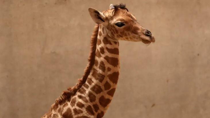 Le girafon Pemba était né le 17 août dernier au zoo de Champrépus, dans la Manche.