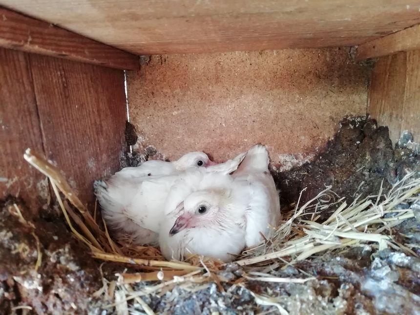 Pigeonneaux au nid à Gabat (Pyrénées-Atlantiques), janvier 2019.