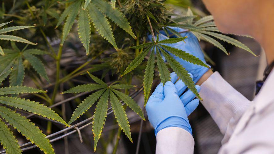 Plan de cannabis