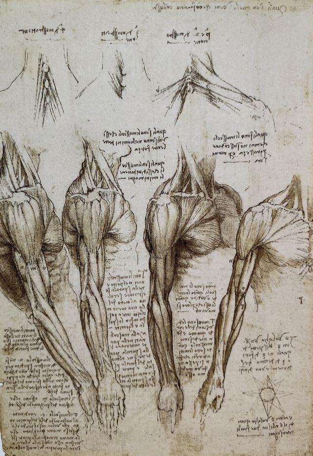 Etudes des muscles de la jambe et du mécanisme de flexion de la jambe