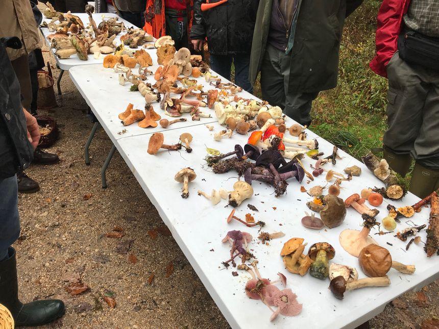 Les chasseurs de champignons font le tri des comestibles et non comestibles à l'issue de leur promenade