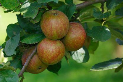 La Belle de Boskoop est une variété de pomme qui, comme son nom l'indique, est originaire de Boskoop aux Pays-Bas où elle naquit en 1856.