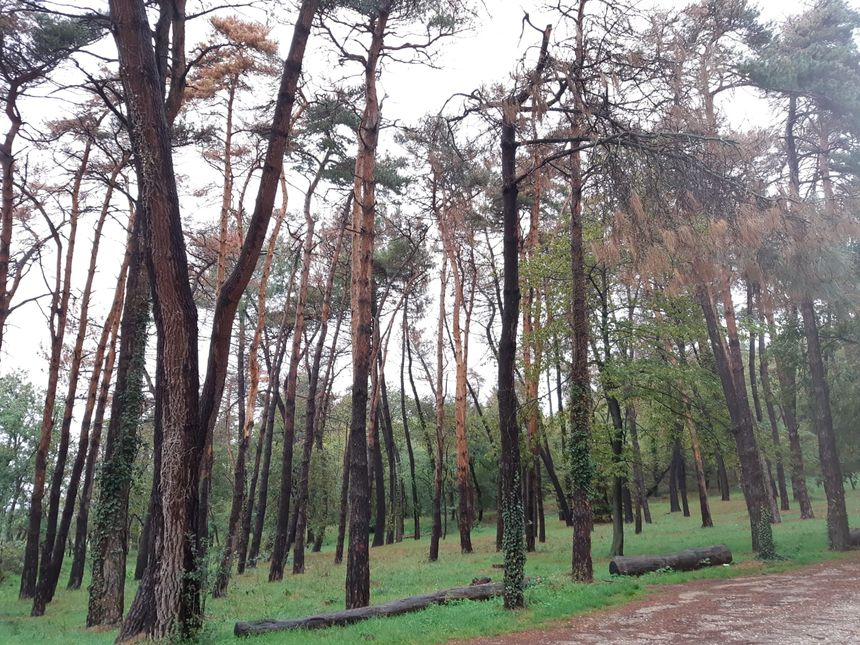Au bois des Ussiaux, 85% des pins sont touchés par la maladie.