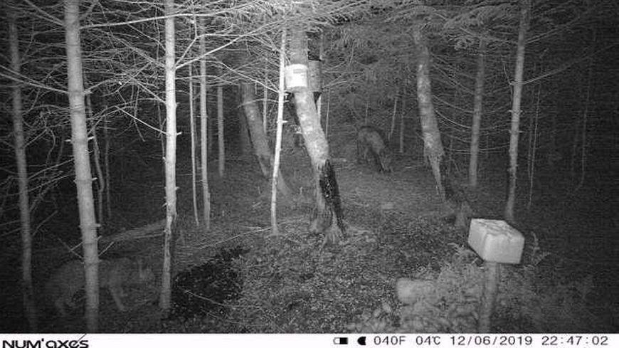 Deux loups, ensemble, ont été photographiés les 11 et 12 juin 2019, dates qui figurent sur les photos, sur le secteur de Pelouse ! affirme Alain Pouget, de la Coordination rurale 48.