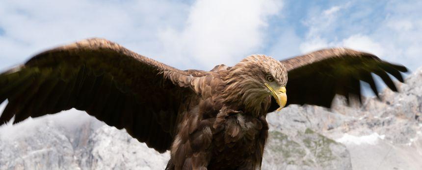 L'aigle Victor pendant ce projet sur les Alpes européenne