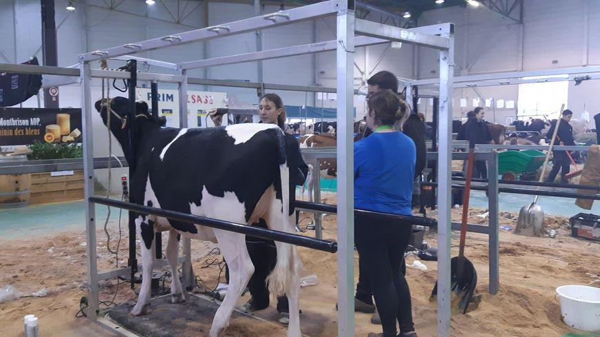 Les apprentis préparent les génisses au salon Agrimax, à Metz